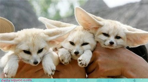 baby cute fennec three triplets