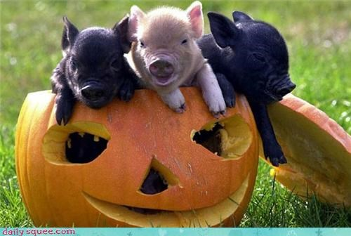 baby,cute,pig,pumpkins,triplets