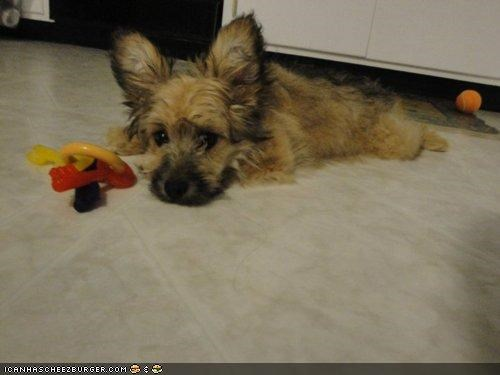 cyoot puppeh ob teh day,dislike,do not want,mixed breed,moping,papillon,poodle,puppy,toy
