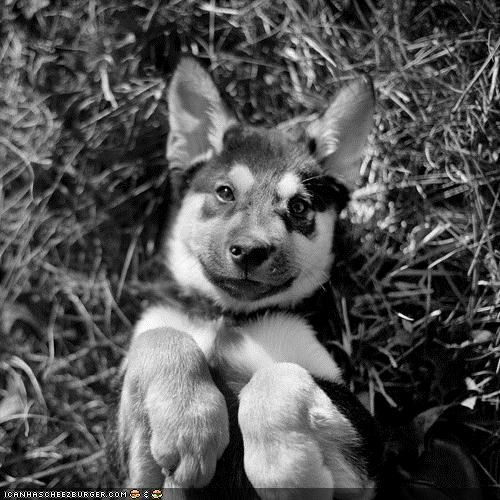 back black and white cute cyoot puppeh ob teh day german shepherd happy laying down paws photograph posed posing puppy - 4327279360