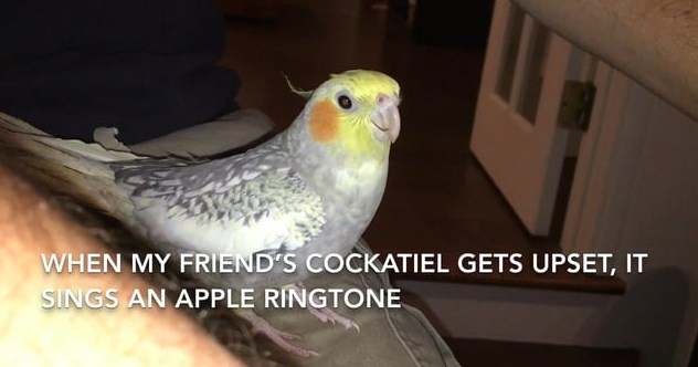 Funny videos of bird singing iphone ringtone, lucky the cockatiel.