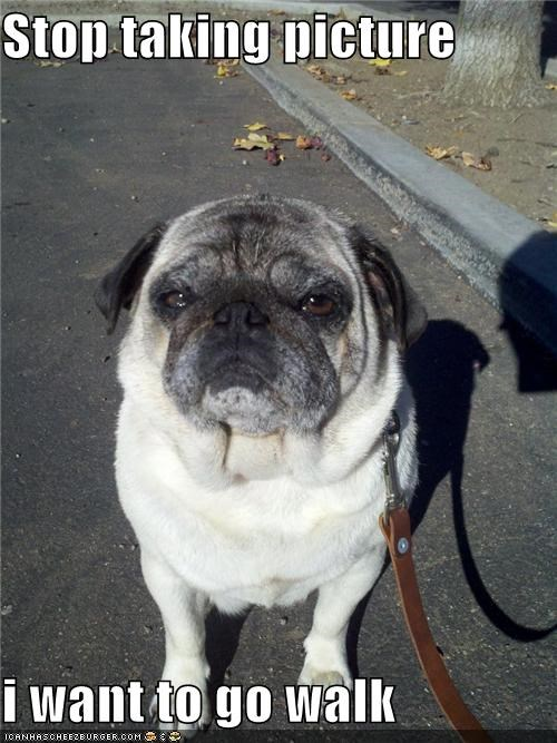 asking,desire,do want,go,impatient,leash,order,picture,pug,stop,taking,upset,walk,walking,want