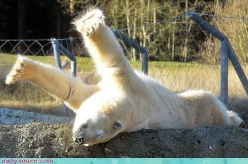 acting like animals,coat,color,excited,fur,laying out,opportunity,pale,pallor,polar bear,self-indulgent,selfish,stretching,sunny,tanning,upside down