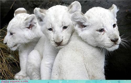baby cub lions triplets white lion - 4328779520