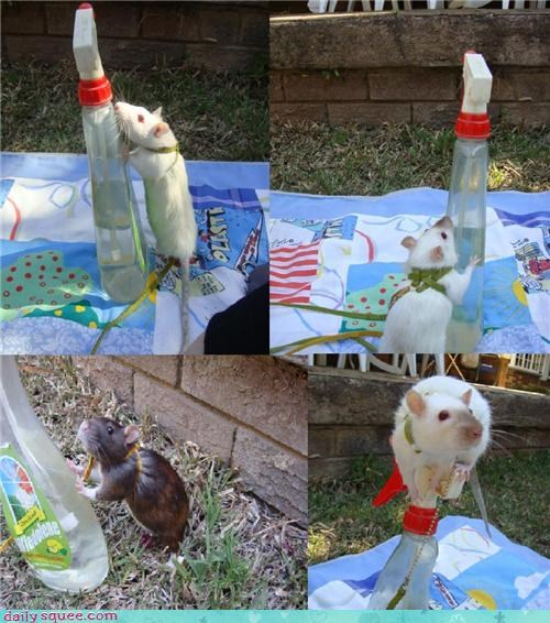 climbing,pet,rats,reader squee,spray bottle