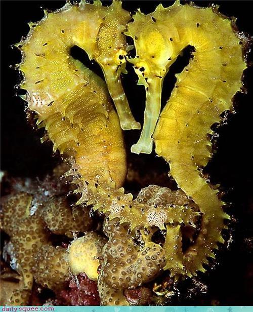 coral heart love seahorses underwater - 4329773312