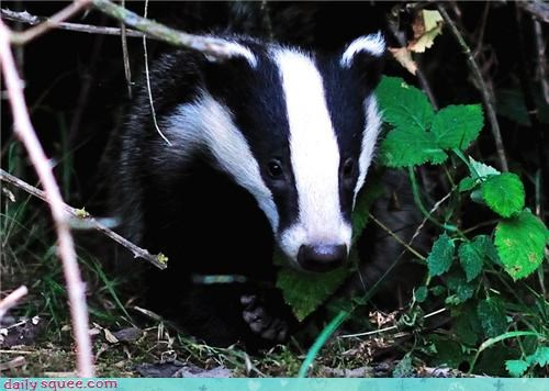 Forest badger black and white squee - 4329812480