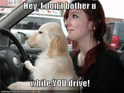 bother,car,drive,driving,golden retriever,Golden Rule,Hey,human,puppy,upset