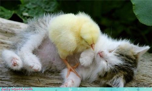 bird cat chick cuddling friends Hall of Fame Interspecies Love kitten - 4330530048