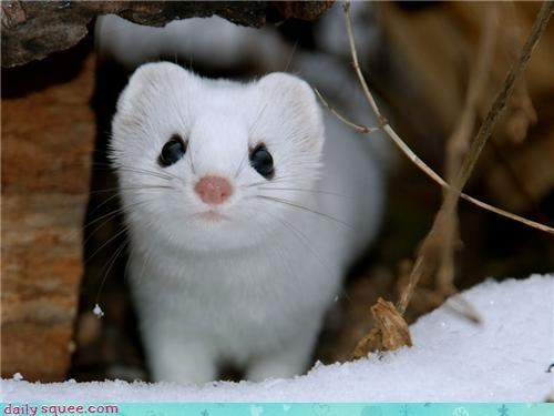 Snow Weasel is watching you