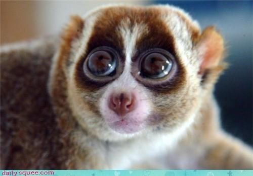 squee loris Fluffy rolling your eyes cheeky Slow Loris - 4330868480