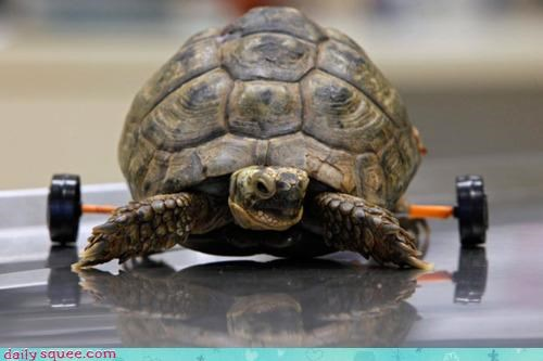 acting like animals attachment news rehabilitation rescued saved touching turtle wheels - 4331416064