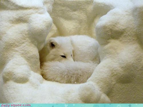acting like animals arctic fox camouflaged cuddling den fox sleeping snow - 4331426304