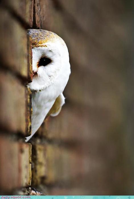 acting like animals adage beauty compensation half Owl peeking - 4331429120