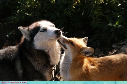 dogs,fox,foxes,friends,Interspecies Love,KISS,kissing,sniff