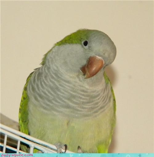 bird close up parrot pet reader squee - 4332079104