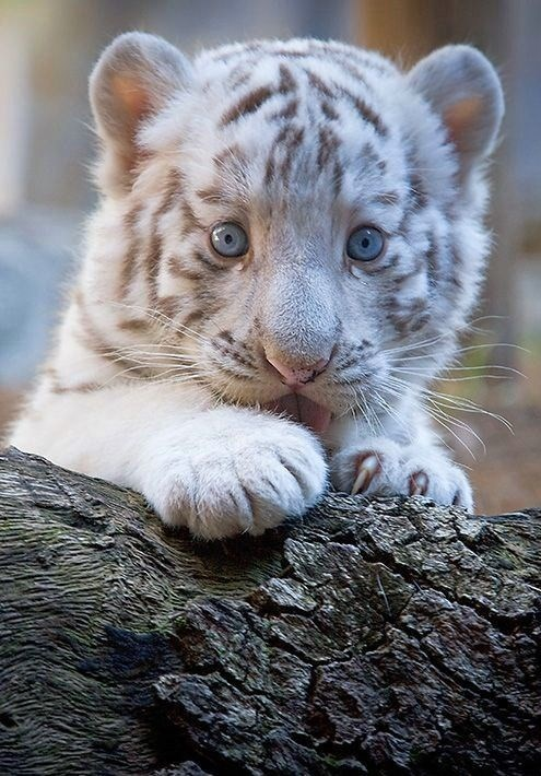 tiger,baby,cub,blue eyes,white tiger,tongue,whiskers