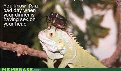 crickets having the sex iguana Memes on my head - 4334962688