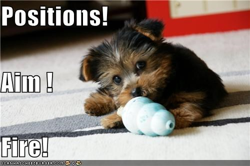 aim,Battle,fighting,fire,positions,pretending,puppy,toy,yorkshire terrier