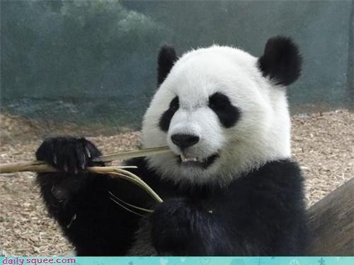 chew nom panda