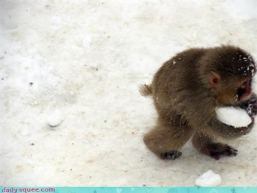 macaque monkey monkeys red snow snowball squee - 4339075840