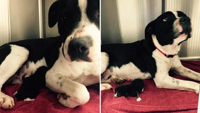 A Stray Pit Bull Adopted a Newborn Kitten and Nursed Her Until They Were Rescued
