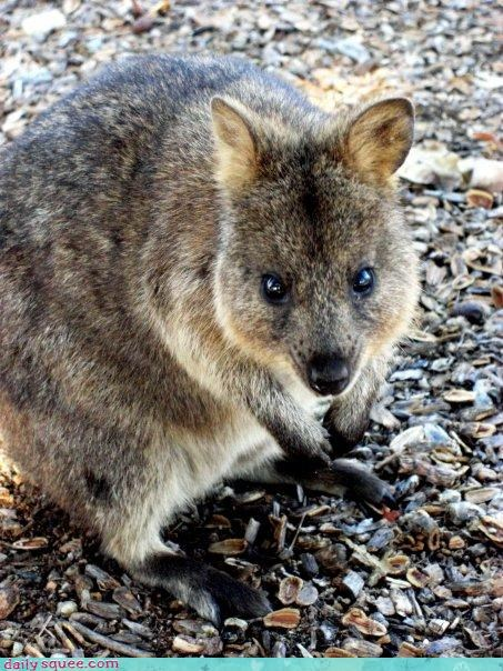 bunny cute kangaroo quoka quokka whatsit wednesday - 4342059520