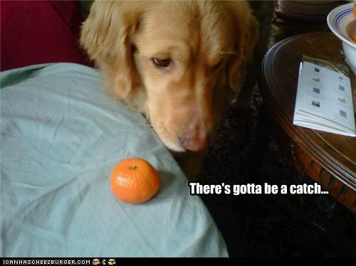 afraid catch confused golden retriever noms orange suspicious unnerved unprotected waiting