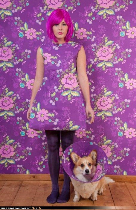 cone of shame,corgi,design,fashionable,floral,Hall of Fame,matching,model,modeling,pattern,posing,pretty