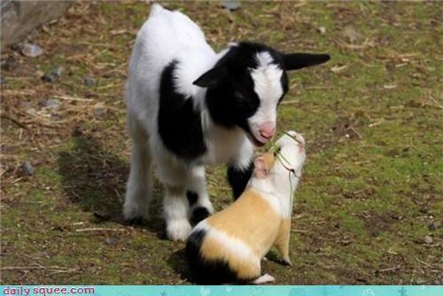 baby cute goat guinea pig kid - 4343243264
