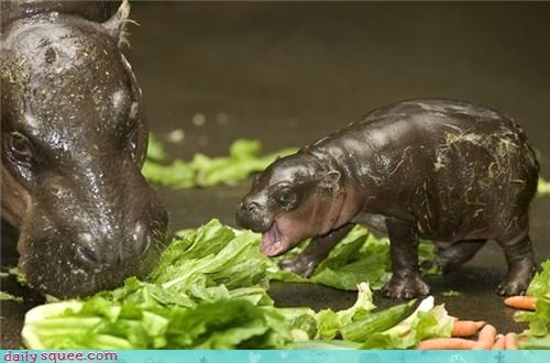 Hall of Fame hippo hippopotamus hungry hungry hippo noms squee spree veggies