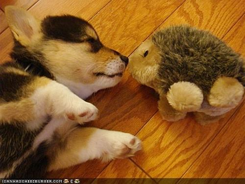 corgi,cute,cyoot puppeh ob teh day,kissing,love,nose,porcupine,puppy,sleeping,stuffed animal,true,true love