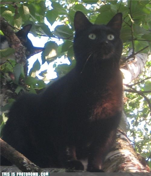 animals Cats Caturday creeper photobomb tree - 4344960512