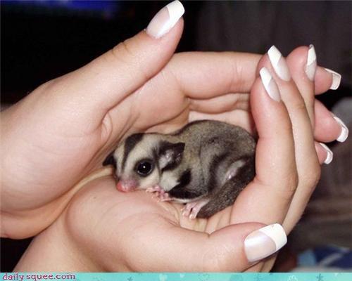animal baby cute sugar glider - 4345035264
