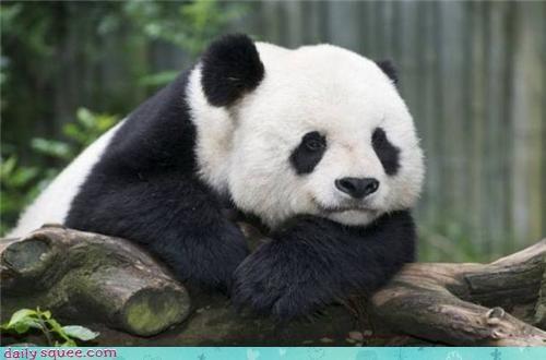 baby cute mean nice panda - 4345622784