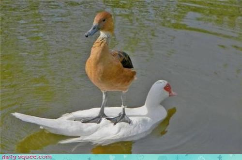 cute,duck,lazy,stand,swim
