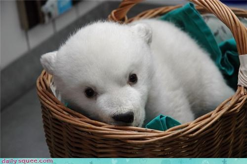 baby basket baskets cub cubs delivery Hall of Fame polar bear polar bears squee - 4345659648