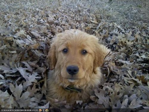 blending in,camouflage,cyoot puppeh ob teh day,golden retriever,leaf pile,leaves,pile,puppy,question