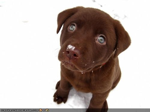 cute cyoot puppeh ob teh day falling labrador lyric playing puppy puppy eyes snow snowflake Staring - 4346007808