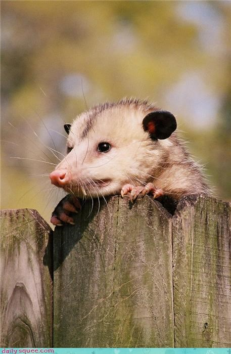 fence,neighbor,opossum,whiskers