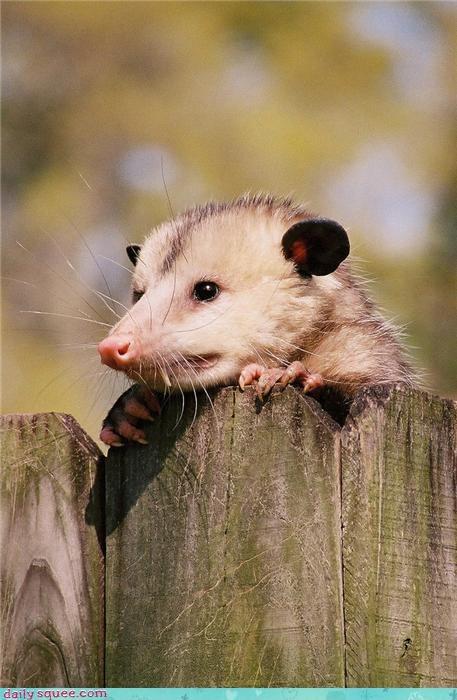 fence neighbor opossum whiskers - 4346009344