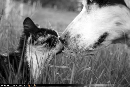 black and white cat friendship kissing kittehs r owr friends love nose whatbreed - 4346300928