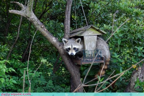 acting like animals,bird feeder,birdhouse,caught,excuse,food,masquerade,noms,pretending,raccoon,stealing