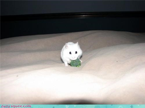 broccoli,hamster,nom,pet,reader squee,snack