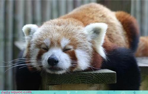 nap Planking red panda sleep sleepy - 4348297984