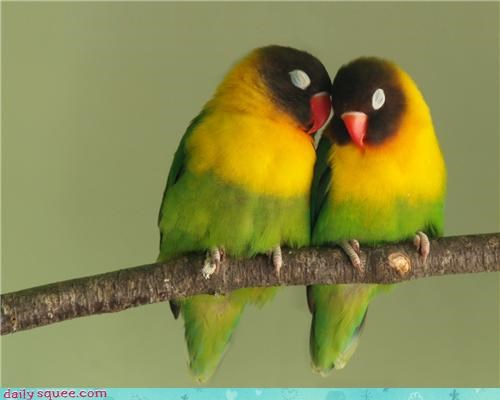 birds cuddle hug love birds parakeets - 4348388352