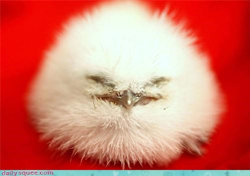 baby bird birds chick fluff Fluffy snowball squee tawny frogmouth - 4348539904