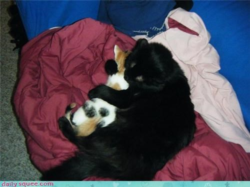 calico Cats cuddles hugs pet reader squee spooning
