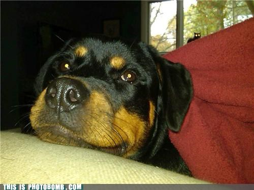 animals,Cats,Caturday,dogs,photobomb,rottweiler