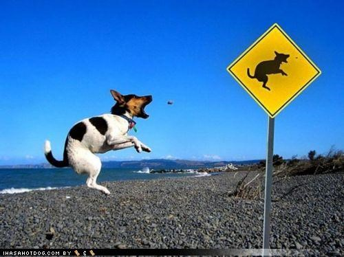 awesome ball catch fetch jack russell terrier jumping leaping photoshop posing sign - 4349460480